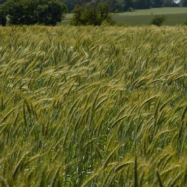 Купить Семена пшеницы твердой яровой