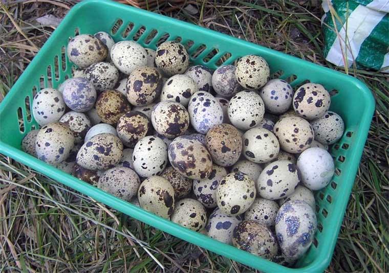 Купить Перепелиные яйца