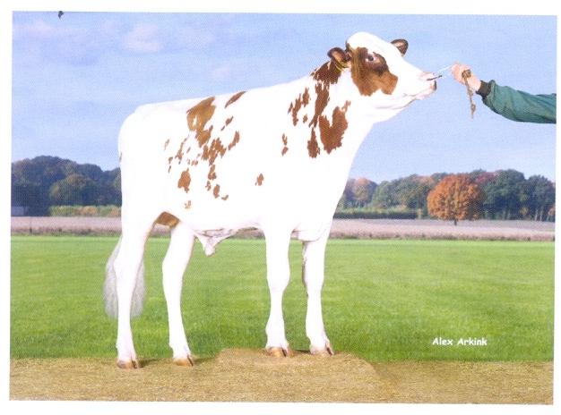 Купить Семя быка Дроунер Ред-М НИДЕРЛАНДЫ