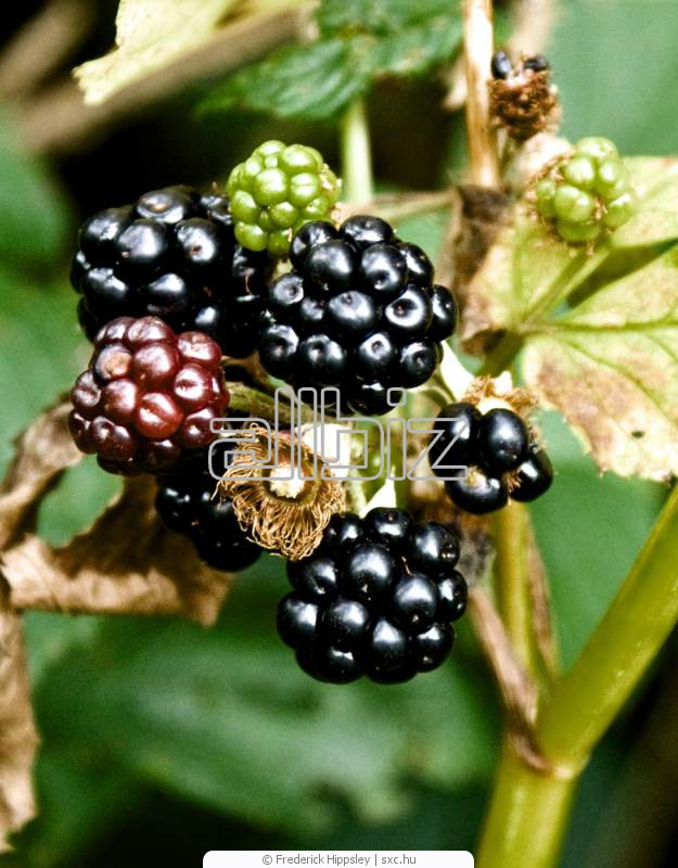 Купить Саженцы плодово-ягодные