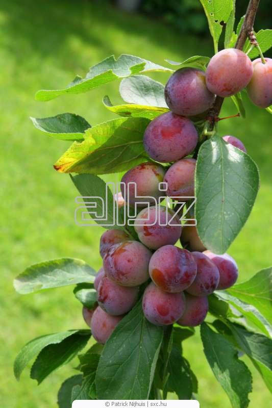 Купить Деревья фруктовые