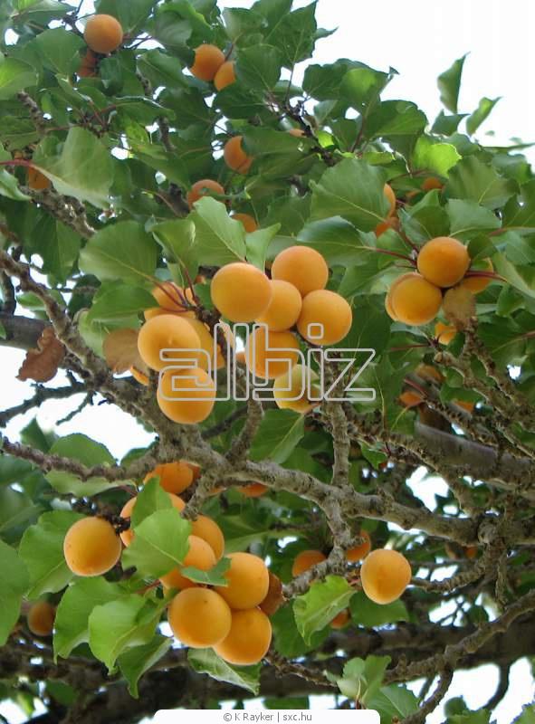 Купить Саженцы абрикоса
