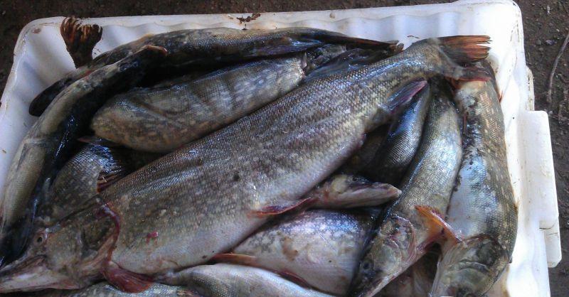 Куплю рыбу свежую воронеж
