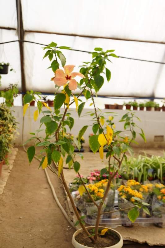 Buy Flowers hibiscus, Wholesale, Almaty, Kazakhstan