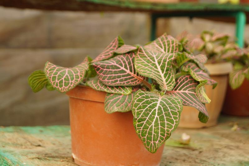 Купить Фитония, Комнатные растения, Алматы, Казахстан