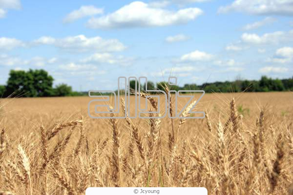 Пшеница мягкая всех сортов