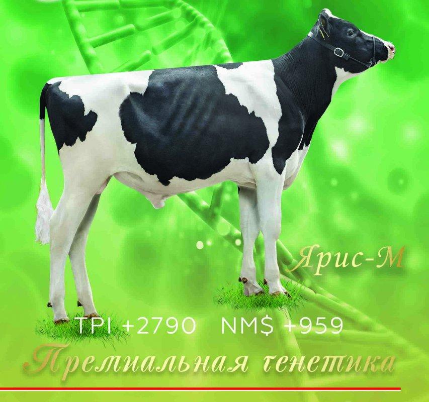 Купить Семя быка Ярис-М - Лучший Бык Европы