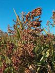 Купить Семена суданской травы