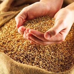Пшеница продовольственная 3-го класса. Оптом. Экспорт из Казахстана