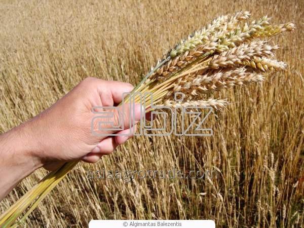 Зерно, пшеница