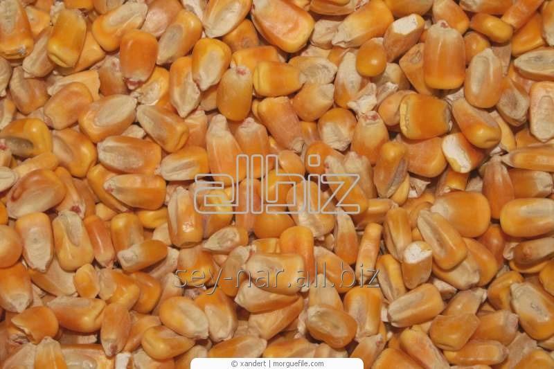 Кукуруза посевная