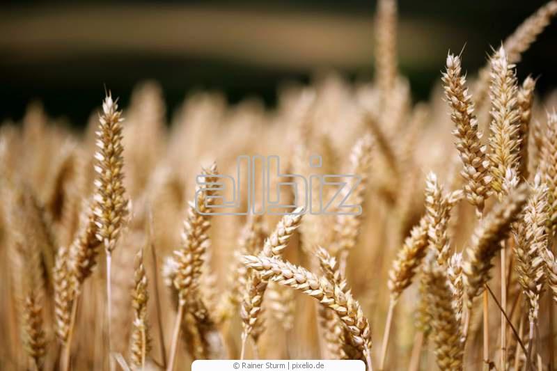 Закуп пшеницы твердых сортов