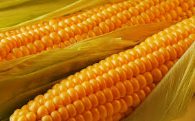Купить Кукуруза кормовая