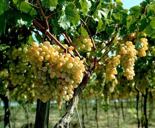 Купить Виноград (экспорт)