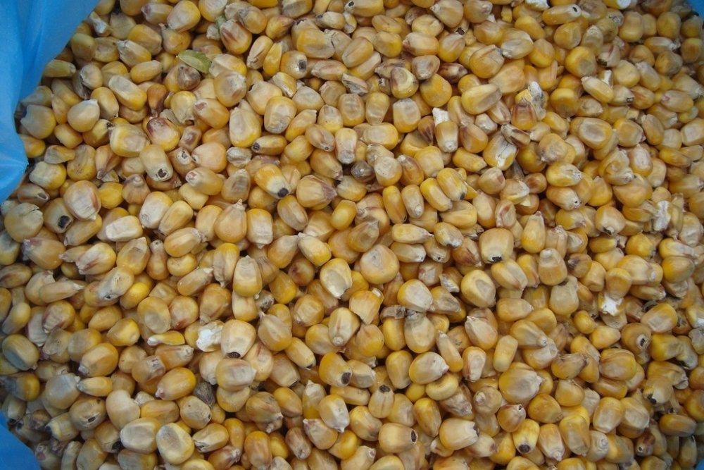Кукуруза Фуражная кормовая
