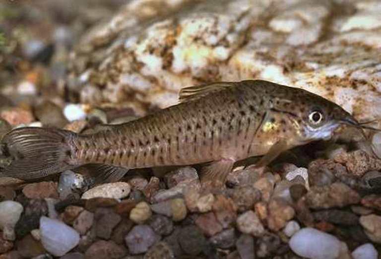Купить Рыба аквариумная Дианема - Diaпеmа longibarbis Соре