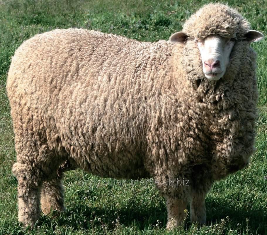 Купить Овцы меринос