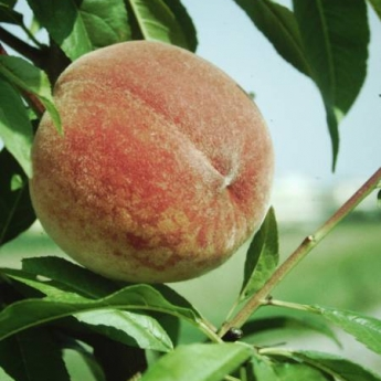 Buy Red Haven peach