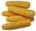 Купить Кукуруза сорта Будан