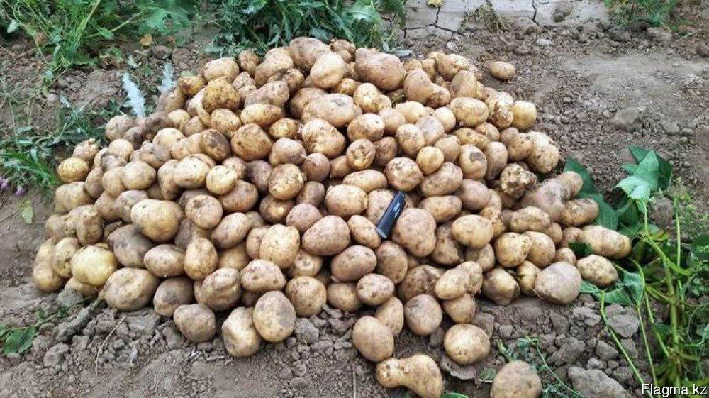 Купить Картофель сорт Наташа и Красная розара