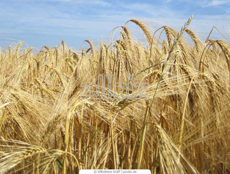 Купить Пшеница фуражная 5 класс оптом