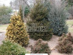 Planting stock of coniferous breeds