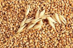 Пшеница твердая 3 класса