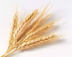 Пшеница из Казахстана с доставкой