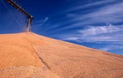Поставщики пшеницы из Казахстана