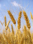 Wheat soft flour-grinding