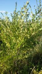 Саженцы плодовых и декоративных деревьев и