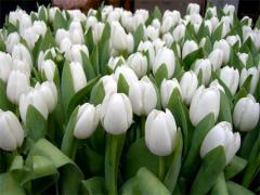 El tulipán Lalibela roj