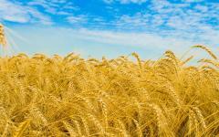 Barley 2 classes