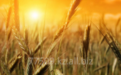 Wheat for export of all classes
