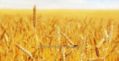 Wheat in Kazakhstan