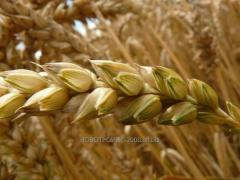 Barley for export from Kazakhstan