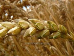 Barley for export from Kazakhstan
