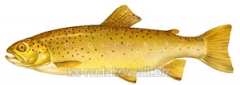 Gold trout (amber)