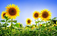 Sunflower in big-bag
