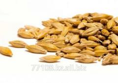Barley grain in bulk
