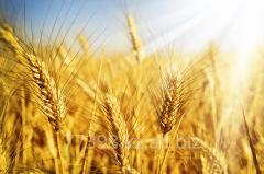 To buy wheat in Almaty