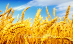 Grain crops from Kazakhstan