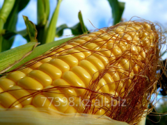 The corn is fodder, corn food GOST 13634-90
