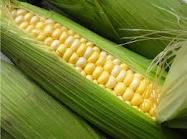 The corn is hybrid
