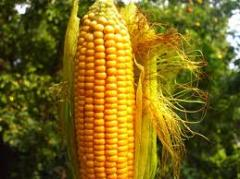 The corn is ordinary