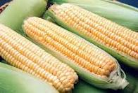 The corn is sowing
