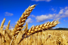 Wheat for export Kazakhstan