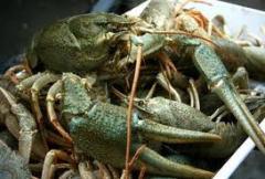 Crawfishes wholesale