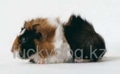 Guinea pig rozetochny