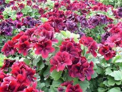 Цветы однолетние